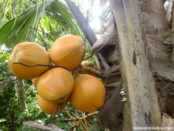 kokosovye-orehi