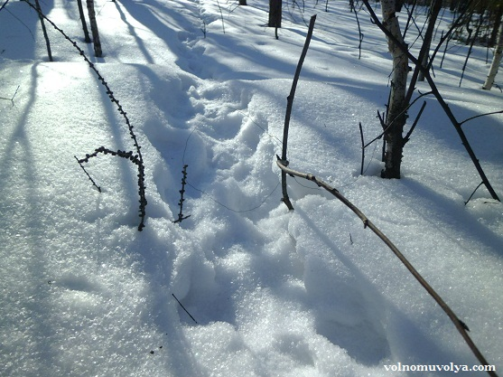 петли на зайца зимой