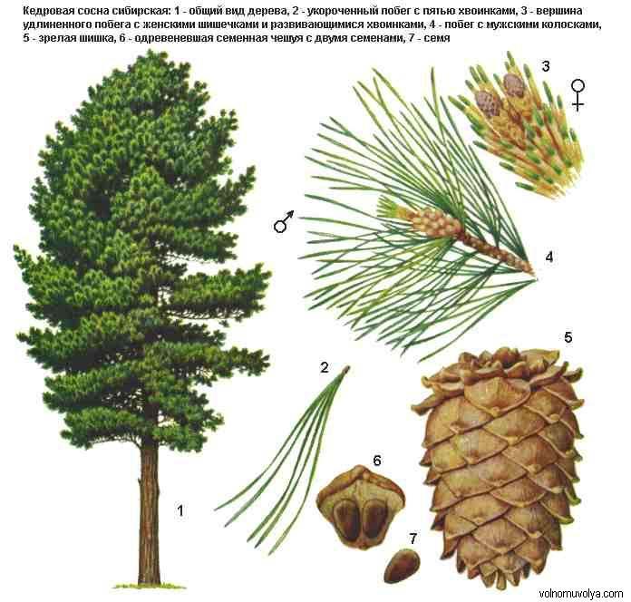 ботаническое описание кедра сибирского