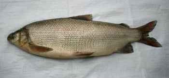 рыба-сибирь