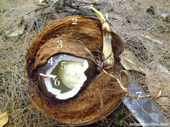 кокосовый орех в разрезе