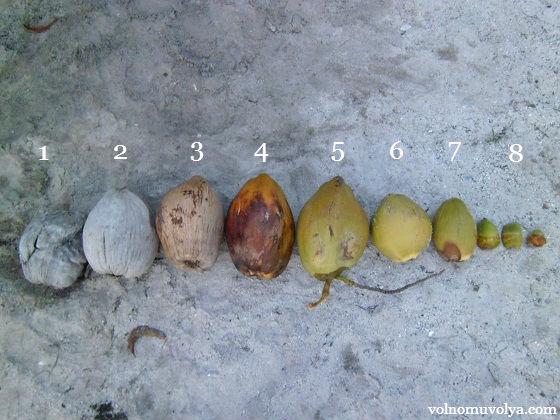 цикл жизни кокоса