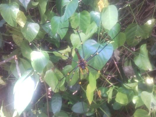 nephila-maculata-spider