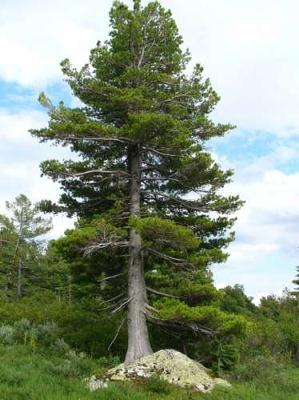 Pictures Of A Pine Cedar Tree 32
