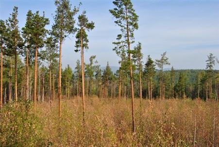 бореальный-лес
