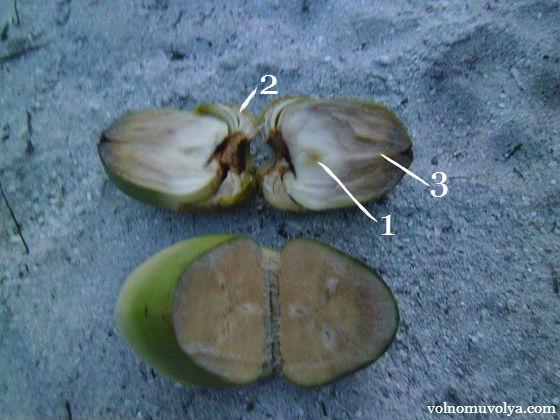 кокосовый зародыш
