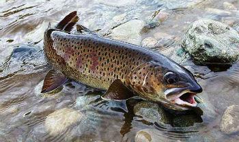 ленок фото рыба