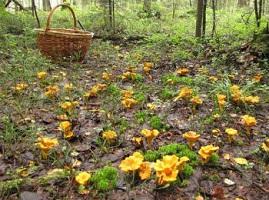 лисички грибы от паразитов отзывы