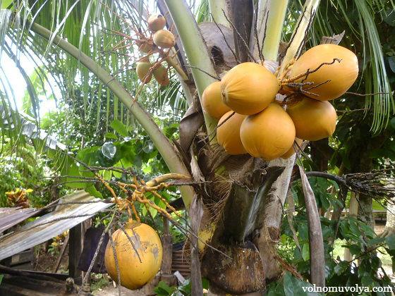 molodye-kokosy
