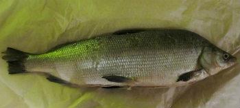 рыба-сибири