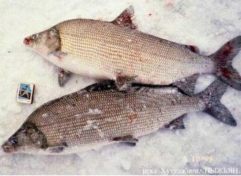 рыба-пыжьян