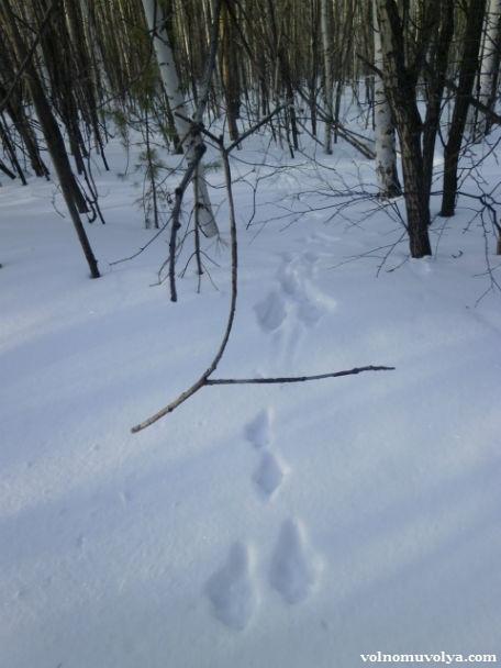 следы зайца на снегу