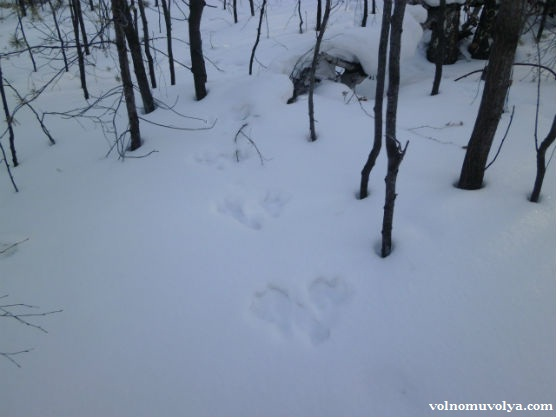 следы зайца на снегу1