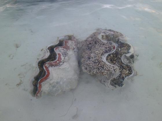Морская тридакна
