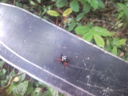 austracantha-minax-spider