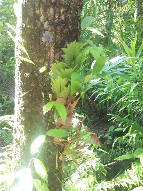 tropicheskoe rastenie