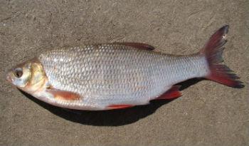 язь-рыба