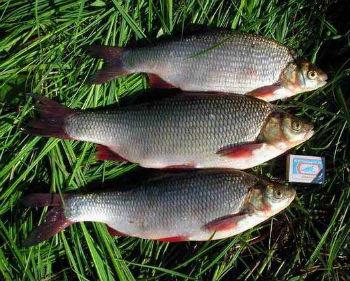 Рыбы Сибири
